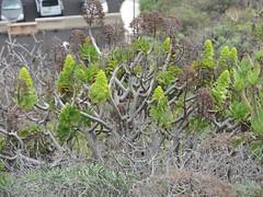 Goldgelbes Aeonium am Mirador de Risco Alto, La Palma , NGID396065428