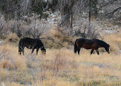 Wild Horses. (brianmurphy1950 ....Thanks For Your Visit) Tags: wildlife winter nature horse wildhorses britishcolumbiacanada penticton brianmurphy 18140mm nikond7100