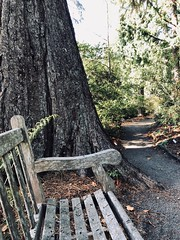 Giant Sequoia Bench (Melinda Young Stuart) Tags: hbm monday bench seat lichen tree giant sequoia big shade forest ucbg path shadow effect iphone8 berkeley hillside woods bigtree