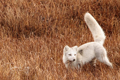 High Tailing It (Dan King Alaskan Photography) Tags: arcticfox fox vulpeslagopus tail white autumn grasses canon50d sigma150600mm