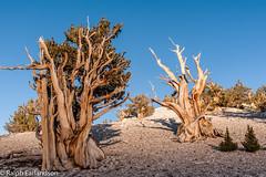 Last Sunlight on the Ancients (Ralph Earlandson) Tags: whitemountains california patriarchgrove eastsidesierra sunset bristleconepine