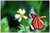 虎斑蝶 Danaus genutia (Alice 2017) Tags: 2017 hongkong bokeh green butterfly canon canoneos7d eos7d nature canonef70200mmf4lisusm plant autumn white flower insect aatvl01