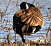 our Canadian Goose (Kens images) Tags: canadian goose fowl feathers beauty nature symbol protection honoured revered rural country wet lands proud