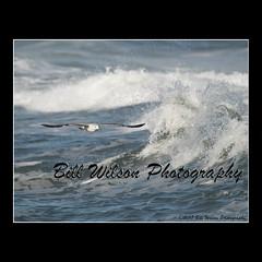 ring-billed gull wave (wildlifephotonj) Tags: ringbilledgullwave ringbilledgull ringbilledgulls seagulls seagull seagullbeachnj beachbirds wildlifephotographynj naturephotographynj wildlifephotography wildlife nature naturephotography wildlifephotos naturephotos natureprints birds bird