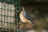 IMGP8622 (CatseyeGomez) Tags: nevada reno bird nuthatch redbreasted
