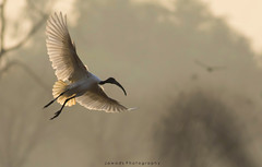 Black Headed Ibis (Jawad_Ahmad) Tags: nature naturephotography beautyofnature wildbird sunrise morning flicker pakistan sialkot jawadsphotography