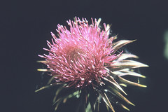 Weeds37.tif (NRCS Montana) Tags: weeds noxious thistle canadathistle
