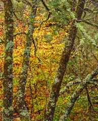 Autumn Warmth, Glencoe (CactusD) Tags: glencoe scotland autumn colour autumncolour trees alder beech lichens woodland greatbritain great britain nikon d800e fx texture uk unitedkingdom gb landscape intimatelandscape detail film 5x4 4x5 details fuji fujichrome velvia velvia50 largeformat large format digitized linhof technikardan tks45 s45 nikkorm300mmf9 300mm f9 tilt shift tiltshift movements pce 85mmf28pce 85pce 85mm f28