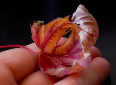 Autumn (marinachi) Tags: macromonday macro closeup leaf fingertips