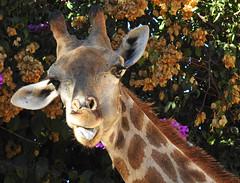 Girafa-de-Angola / Angolan giraffe (Giraffa camelopardalis angolensis) (Marina CRibeiro) Tags: portugal lisboa lisbon zoo girafa giraffe artiodactilos girafideo mamífero mammal