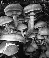 (Jean-Luc Léopoldi) Tags: bw noiretblanc champignons mushrooms грибы setas dessin crayon