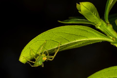 Magnolia Green Jumping Spider...Lyssomanes viridis (heeeerod) Tags: spider arachnid green jumpingspider macro nikon nikkor meike