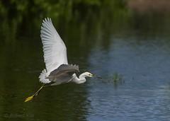 On a mission! (Jambo53 (!)) Tags: bif birdinflight egret reiger robertkok nature natuur wildlife wader bird watervogel vluchtfoto water waterdroplets waterdruppels caribbean d800 70300