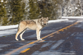 Wolf in the road near Artist Paint Pots