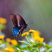 Pipevine+Swallowtail+Butterfly+%28Battus+philenor%29