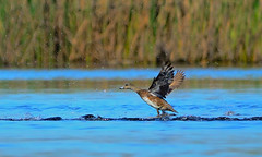 A Gadwall taking off.... (Sutapa Karmakar) Tags: nikond7000 sigma150500mm gadwall californiabird birding birdinflight nature birdphotography