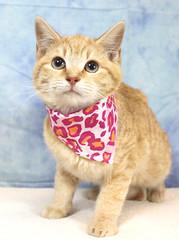 A37159303_Peaches2 (kentucky humane society) Tags: pet animal blue khs shelter dog white black cat tiger orange yellow