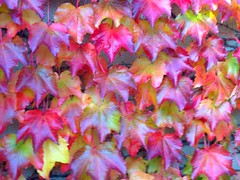 """""""Comfy sweaters, warm drinks and pretty colours - I love Autumn"""" (Trinimusic2008 - stay blessed) Tags: trinimusic2008 judymeikle nature november 2017 fall autumn garden promenade toronto to ontario canada colours colors leaves"""