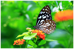 淡紋青斑蝶   Blue Tiger, Tirumala limniace (Alice 2018) Tags: 2017 hongkong bokeh green butterfly canon canoneos7d eos7d nature canonef70200mmf4lisusm plant autumn leaves insect favorites50