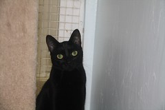 Gemini - 9 month old spayed female