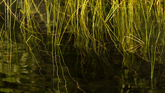 'Signal and Noise' (Canadapt) Tags: lake water grass reflection shapes patterns keefer canadapt