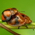 Tortoise beetles mating, Cassidinae thumbnail