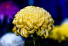 Chrysanthemum (Dakiny) Tags: 2017 autumn november japan kanagawa yokohama nature plant flower chrysanthemum macro bokeh nikon d750 afsnikkor85mmf18g nikonafsnikkor85mmf18g nikonclubit