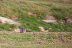 Lapin de garenne-0008 (philph0t0) Tags: lapindegarenne lapincommun oryctolaguscuniculus lapin garenne oryctolagus cuniculus europeanwildrabbit european wild rabbit mamal mamifère
