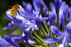 Bee pollinates purple flower in Lisbon National Park, Sintra, Lisbon, Portugal (swbsnaps) Tags: lisbon portugal sky sun sunny weather nature macro bee bumblebee flower pollen colours hd