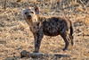 Spotted hyena - cute young one (NettyA) Tags: 2017 africa crocutacrocuta day1 krugernationalpark southafrica animal baby hyena juvenile safari spottedhyena wildlife