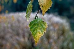 I am falling down (giocake) Tags: liść leaf