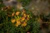 Plaisir des Hautes-Alpes (Frédéric Fossard) Tags: texture lumière végétal flore floral flower florealpine fleurdesmontagnes fleursauvage alpage flou bokeh profondeurdechamp oisans hautesalpes massifdesécrins nature bouquet pétale couleur été botanique