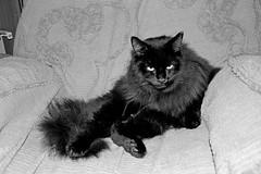 Happy Caturday! (Caulker) Tags: cat vaska bw chair november 2017