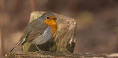 My special friend Robin (pe_ha45) Tags: robin rotkehlchen rougegorge singvogel garden garten