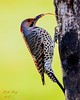 Northern Flicker - Tongue Lashing (dbking2162) Tags: birds bird nature nationalgeographic northernflicker wildlife indiana tongue kiss gene simmons outside
