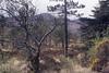 Pinewood spreads over heather moor, north east Rhum (Mary Gillham Archive Project) Tags: 120117 callunavulgaris eigg heather island landscape nm4988 planttree scotland unitedkingdom gb
