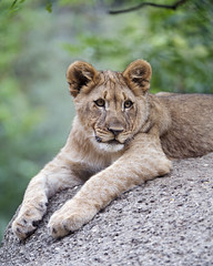 Young lioness posing (Tambako the Jaguar) Tags: lion big wild cat female lioness young cub posing lying resing rock stone portrait basel zoo zolli nikon d5 switzerland