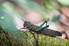 Giant cricket in Amazon jungle (kerto.co.uk) Tags: bug cricket jungle wildlife bugs amazon rainforest kerto