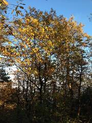 66 (emmess2) Tags: campiglia cinqueterre spezia autumn fall leaves
