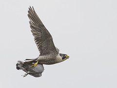 Peregrine in flight with Pigeon 1 (ralphashton) Tags: sky wings feathers flight birds dinner pigeon peregrine nature