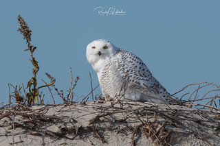 Snowy Owls of New Jersey | 2017 - 1