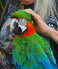 Key West (Florida) Trip 2016 0557Ri 5x6 (edgarandron - Busy!) Tags: florida keys floridakeys keywest bird birds macaw macaws nancyforrester nancyforresterssecretgarden secretgarden