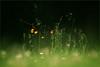 Remembering. Tender floral summer forest. (Gudzwi) Tags: flora 7dwffridaysflora blumen gras grass wiese meadow grün green sommer summer blossom blüten schwarzerhintergrund blackbackground black schwarz zart tender licht light closeup nahaufnahme sommerwiese summermeadow silhouette blume flower 7dwf