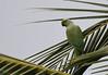 rose ringed parakeet (praveen.ap) Tags: rose ringed parakeet roseringedparakeet bird animal planet