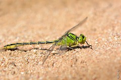 Lazy dragonfly ... (N.Batkhurel) Tags: season autumn insects dragonfly sand closeup macro mongolia ngc nikon nikond5200 105mm