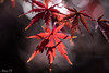 The last of color (Irina1010_out for sometime) Tags: leaves maple mapleleaf red light bokeh nature canon