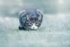 'Frosted Tiffin' (Jonathan Casey) Tags: frost winter snow kitten nikon d810 400mm f28 vr jonathan casey jonathancaseyphotography