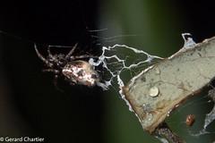 Cyclosa sp. (GeeC) Tags: animalia arachnida araneae araneidae araneomorphae arthropoda cambodia cyclosa kohkongprovince nature nightwalk orbweavers spiders tatai trashlineorbweavers truespiders 末unknowncyclosa