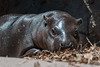 Taronga Zoo -  Pygmy Hippo baby (claudia@flickr) Tags: animals australia nsw pygmyhippo tarongazoo mosman newsouthwales au