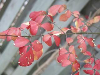 Thursday Colours - Burning Bush Leaves 333/365
